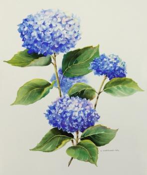 Hydrangeas, Elizabeth Cox